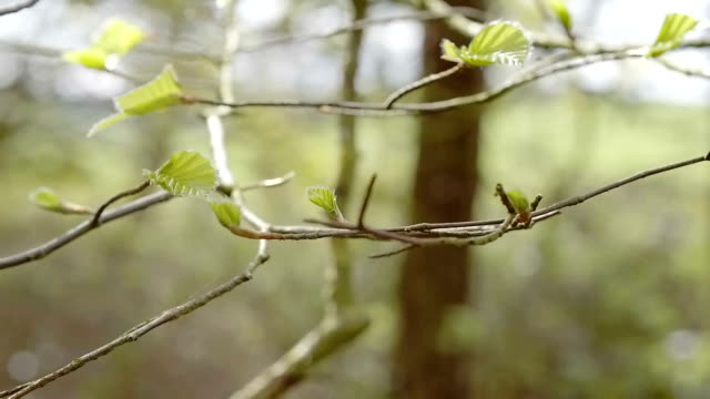 Panning around a branch with young Spring buds video