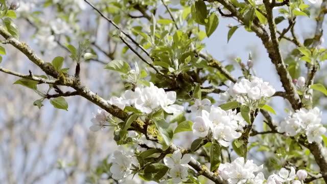 Panning around fresh Spring blossom video
