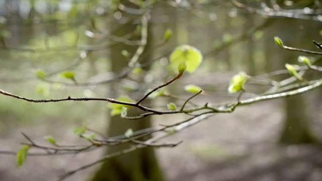 Panning around fresh Spring buds video