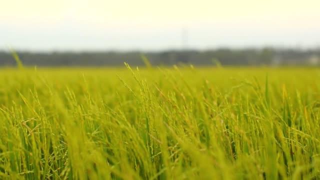 パン:シリアルフィールドの夜明け - 稲点の映像素材/bロール