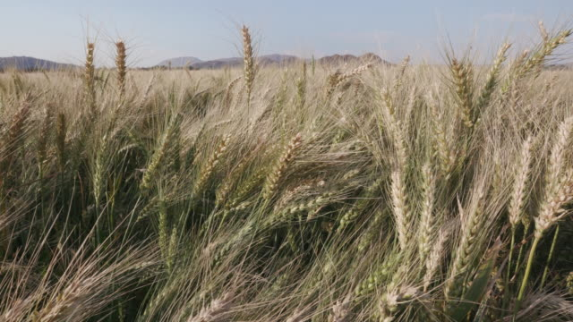 Panning close-up shot of a wheat on a large scale industrial farm video