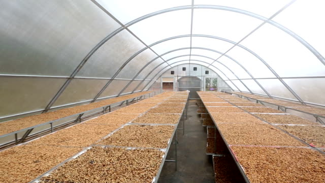 HD Panning: Coffee beans drying solar plantation house video
