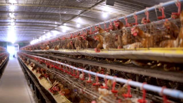 vídeos de stock, filmes e b-roll de exploração agrícola de galinha dos ovos de 4k panning - ave doméstica