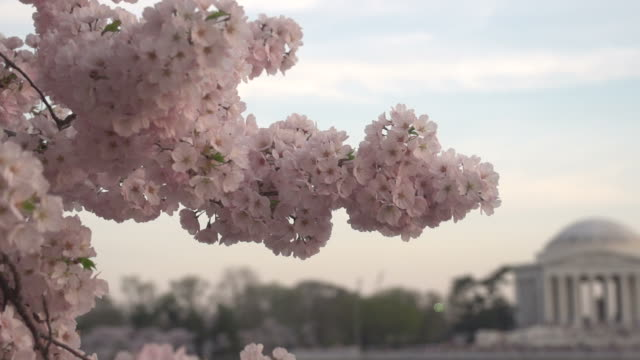 panning from blossoms to jefferson memorial - cherry blossom stock videos and b-roll footage