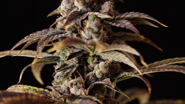 Panning Marijuana Bud Branch Close Up on Black Background