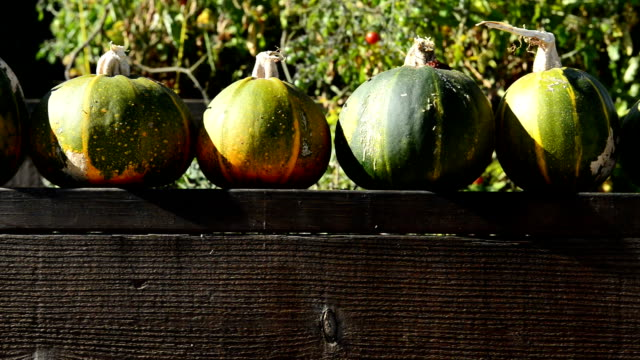 Panning Movement of Pumpkin Zucchini's on a Garden Fence video