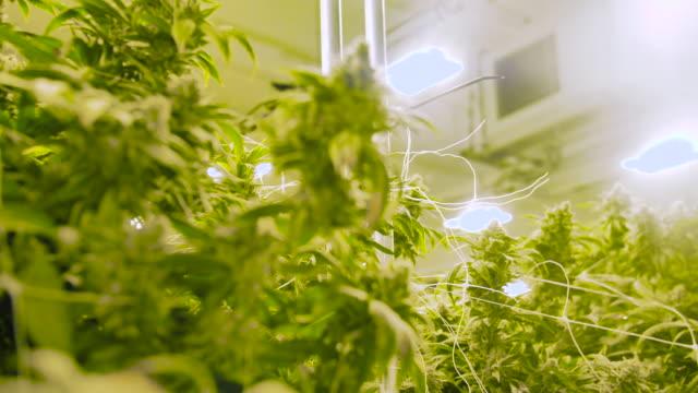 panorering rörelse genom stora marijuana växter växer på potten gård - thc bildbanksvideor och videomaterial från bakom kulisserna