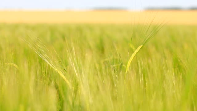 Panning of green rye in the breeze video