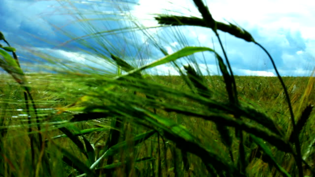 Panning on green fields of crops video