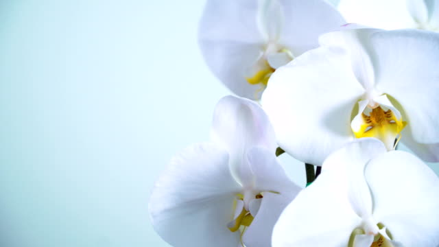 panning:  Phalaenopsis orchid