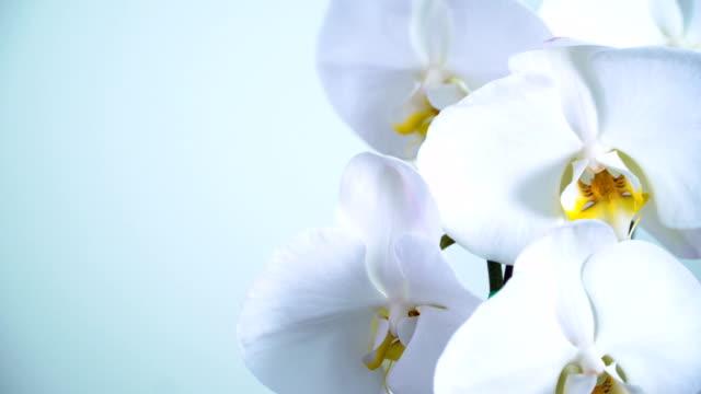schwenken: phalaenopsis orchidee - orchidee stock-videos und b-roll-filmmaterial