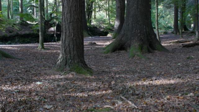 panning: pino vista panoramica della foresta, irlanda del nord - 2016 video stock e b–roll
