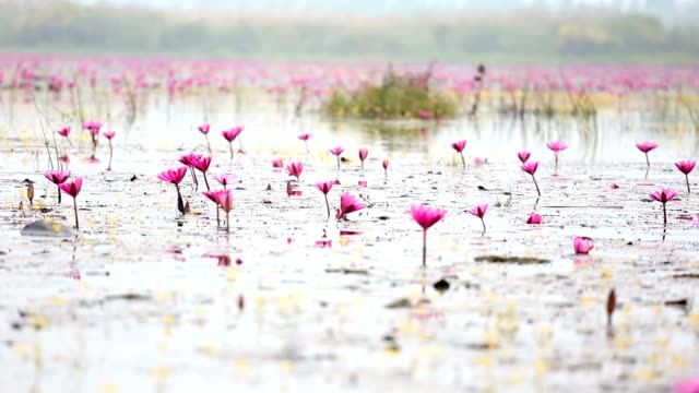 HD Panning: Red Lotus lake in Udonthani Thailand HD Panning: Red Lotus lake in Udonthani Thailand,1920x1080 Format lotus position stock videos & royalty-free footage