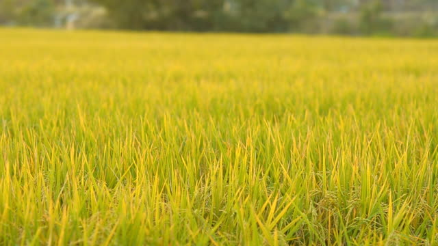 panning : rice areas in non-urban field video