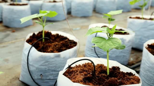 vidéos et rushes de panoramique photo usine de concombre dans serre format haute définition. - botanique