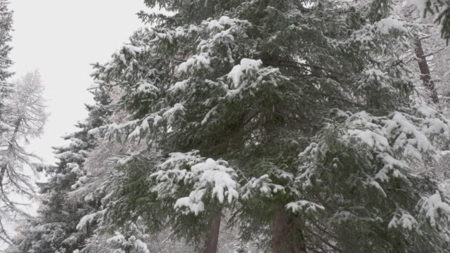Panning shot of a large snowy evergreen tree