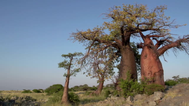 Panning shot of Baobab trees, Botswana Panning shot of Baobab trees, Botswana makgadikgadi pans national park stock videos & royalty-free footage