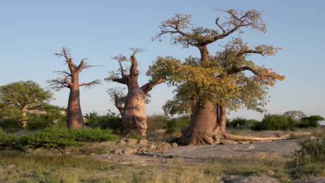 panning schuss von baobab bäume in botswana - affenbrotbaum stock-videos und b-roll-filmmaterial