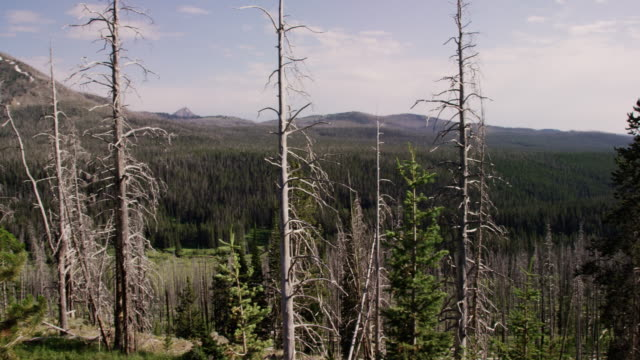 Panning Shot of Dead Pine Trees (Pine Beetle Damage) Interspersed with Healthy Pine Trees overlooking Yellowstone National Park under a Partly Cloudy Sky