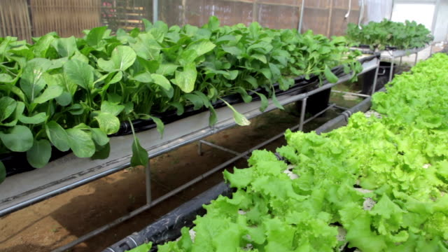 Panning shot of Hydroponics Vegetable video