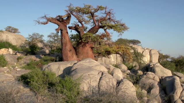 Panning shot of Makgadikgadi Pans and Baobab trees,Botswana Panning shot of Baobab trees with Makgadikgadi Pans in the background, Botswana makgadikgadi pans national park stock videos & royalty-free footage