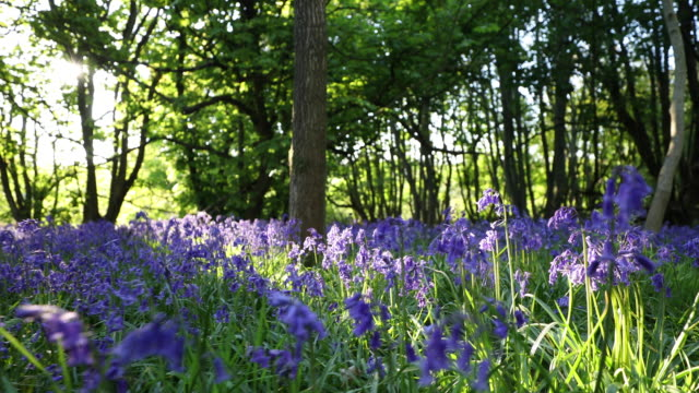 vidéos et rushes de panning shot of path through bluebells in spring woodland - fleur sauvage