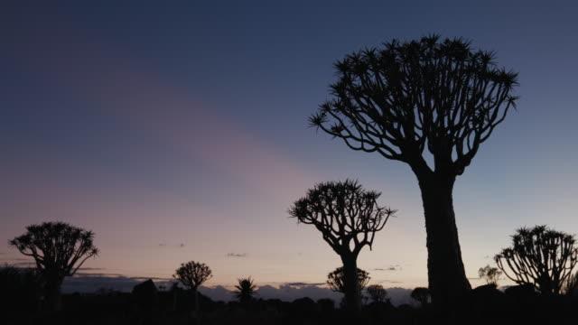 4K, panning shot de carcaj árboles/kokerboom en silueta contra el cielo del amanecer - vídeo
