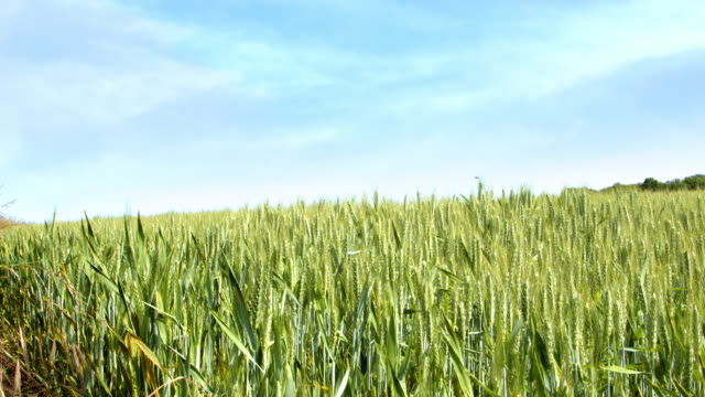 Panning shot of wheat growing in a field.