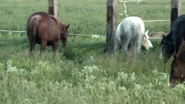 Panning Slow Motion Clip of a Herd of Thoroughbred Quarter Horse Mares, Stallions and Colts Running Through a Green Field of Tall Grass in The Summertime at Dawn or Dusk in the Wild West of Colorado