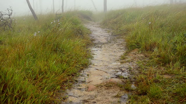 panning : soil walk line  in  fog and Pine tree forest video