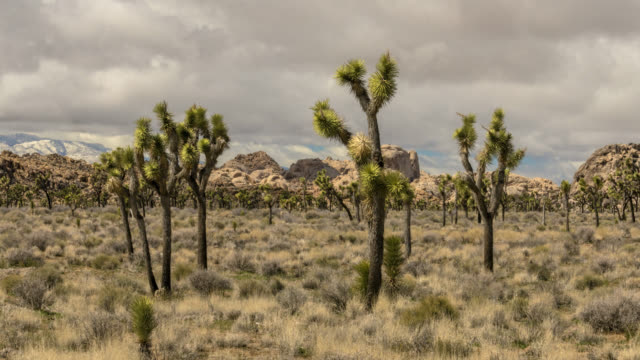 Panning time lapse across Joshua Trees with the San Gorgonio Mountain in the background - vídeo