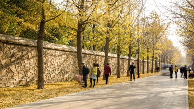 panning TL: walkway is covered by Ginkgo biloba tree panning TL: walkway is covered by Ginkgo biloba tree in winter at Yuanming yuan park ginkgo tree stock videos & royalty-free footage