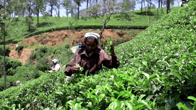 Panning to right: Sri Lankan woman tea picker video