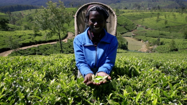 Panning up:  Female tea picker showing tea in her hands video