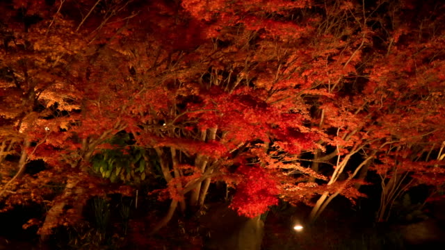 panning: vivid red maple leaf at night panning: vivid red maple leaf at night, Nagoya, Japan maple leaf videos stock videos & royalty-free footage
