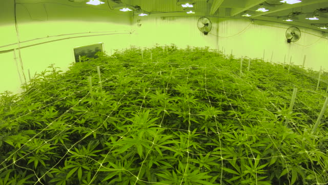 Panning Warehouse Canopy of Indoor Cannabis Plants Looking over the tops of a sea of weed leaves growing under lights marijuana herbal cannabis stock videos & royalty-free footage