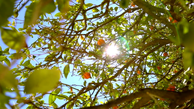 Panorama 360 degree of orange trees. video