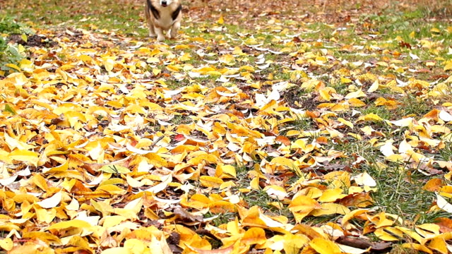Panorama. A dog walks through the autumn forest. Welsh Corgi Pembroke moves closer to the camera with each step. video