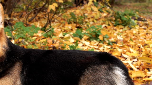 Panorama. Dog breed Welsh Corgi Pembroke on a walk in a beautiful autumn forest. video