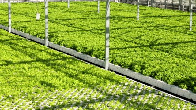 Panorama greenery growing in the greenhouse. video