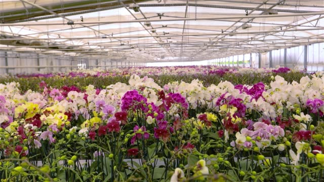 Panorama of a modern greenhouse with blooming archdeis, panorama of a new greenhouse with a glass roof