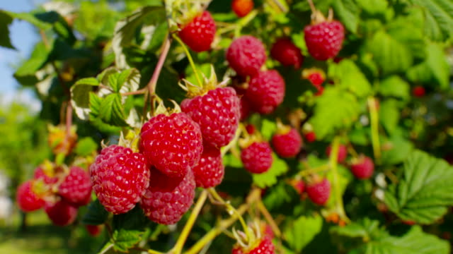 Panorama of ripe raspberry bush - video