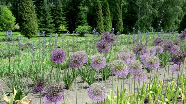 Panorama of round decorative garlic flower buds move in wind.
