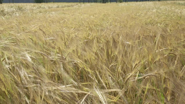 Panorama of the field of a ripe rye in summer sunny day, stalks shake from wind Panorama of the field of a ripe rye in summer sunny day, stalks shake from wind, rye grain stock videos & royalty-free footage