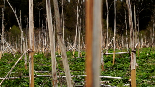 Panorama of the field of dried cow parsnip video