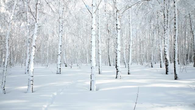 vídeos de stock, filmes e b-roll de panorama da floresta de bétulas de inverno após a queda de neve em um dia ensolarado. - bétula