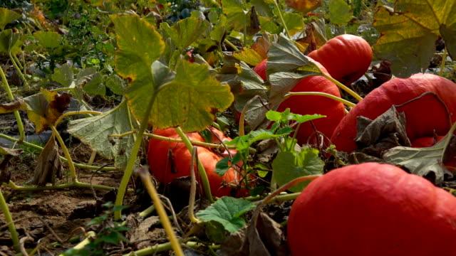 panorama on the field of pumpkins - zucca legenaria video stock e b–roll