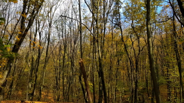 Panoramic motion through a colorful autumn forest woods video