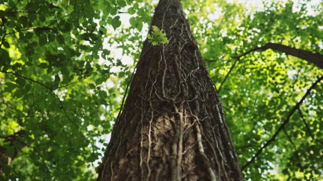 stockvideo's en b-roll-footage met panoramische schot van de boomkruin naar de kofferbak - boomstam