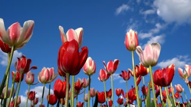 Panoramic Tulip Field - video